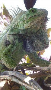 Large Iguanas were everywhere. A Puerto Rico company harvests this invasive species and sells the meat!